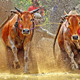 Slowly but sure by Alhas Kasidatur Ridhwan - Sports & Fitness Rodeo/Bull Riding