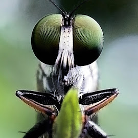 Robber fly 2 by AbngFaisal Ami - Instagram & Mobile Other