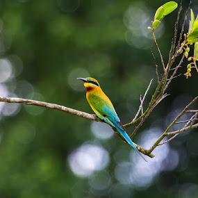 Blue-tailed Bee-eater by Samaneethi Krishnan - Animals Birds