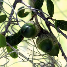 Acorns - squirrel food... by Elfie Back - Nature Up Close Leaves & Grasses ( oak nut, nuts, seeds, live oak, oak tree, acorn,  )