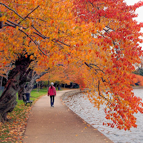 DC Cherry trees by Gene Myers - Nature Up Close Trees & Bushes ( water, shotsbygene, colorful, cherry trees, pink shirt, leaves, gene myers, fall leaves on ground, fall leaves, nature, color, woman, fall, trees, washington dc, tidal basin, sidewalk,  )