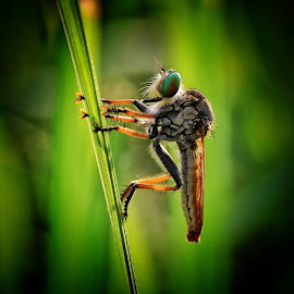 Robber.. Semoga masih berkenan 💚 by Agung Putranto - Animals Insects & Spiders (  )