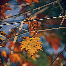 Caught in a free Fall by Brent Morris - Nature Up Close Leaves & Grasses