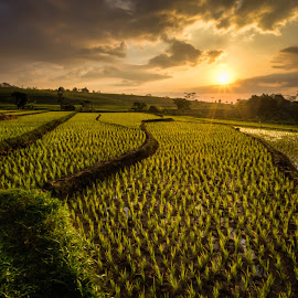 golden rice by Thierry Matsaert - Landscapes Sunsets & Sunrises ( field, rice, sunset, indonesia, travel,  )