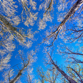 Tree Tops by Wendy Allport - Nature Up Close Trees & Bushes ( treetops, winter, sky, blue, sticks, trees, lookup, branches )