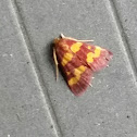coffee-loving pyrausta moth