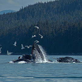 Humpbacks Bubble netting by Brent Morris - Animals Sea Creatures