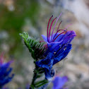blueweed; viborera