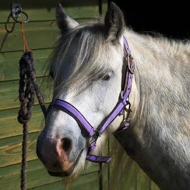 Dodger by Gareth Dickin - Animals Horses ( horse,  )