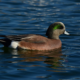 American Wigeon by Jennifer Parmelee - Animals Other ( water, nature, colors, ducks, places, birds )