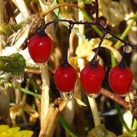 Red goji berries by Gordana Cajner - Nature Up Close Natural Waterdrops ( red, nature, drops, berries )