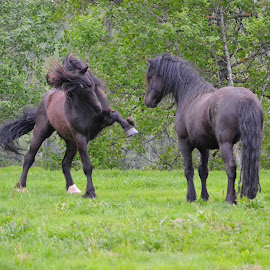 young stallions playing/arguing by Kristin Smestad - Animals Horses ( stallion, equine, horse, black horses, animal )