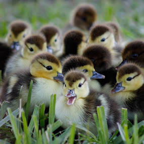 Ducklings by Debra Martins - Animals Birds ( ducklings, animals, nature, wildlife, birds,  )