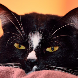 Schwarzie by Ioana Draghiciu - Animals - Cats Portraits ( cats, animals, cat, cat eyes, pets )