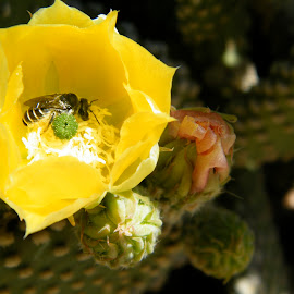 Wild Arizona Bee in cactus flower by Donna Probasco - Novices Only Flowers & Plants (  )