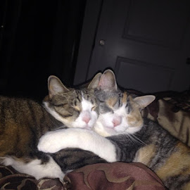 I woke up in middle of the night to find this. Lol sometimes they love each other..sometimes not so much.. by Dana Edwards - Animals - Cats Portraits