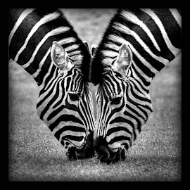 Stripey Love by Mark Thompson - Animals Horses ( sony, love, pair, black and white, woburn, zebra, high quality, stripes, in focus,  )