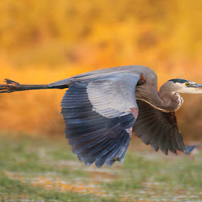 Heron in the Autumn skies by Ruth Jolly - Animals Birds ( great blue heron, nature, wildlife, heron, birds, birding, animal )