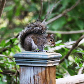 Squirrel by Meenakshi Yadav - Novices Only Wildlife ( sitting, park, green, grey, squirrel,  )