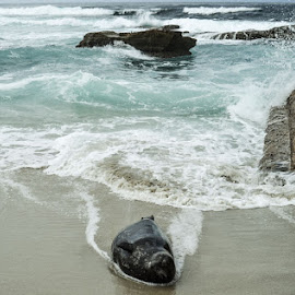 Onto Shore by Amy Cathrine-Rose - Animals Sea Creatures ( seals, waterscape, seal, cliff, ocean, seascape, beach )
