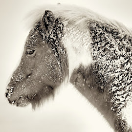 Snow Pony by Jim Downey - Animals Horses ( sepia, pony, winter, snow, colorado )