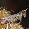 Grayish Sagebrush Grasshopper
