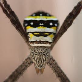 tiny garden spider by Danielle Marshall - Nature Up Close Webs