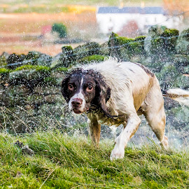 One wet dog by Colin Waite - Animals - Dogs Playing ( springer dog wet wall moss grass shake sprat water post )