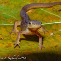 Red eft (red spotted newt)