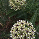 Spider milkweed, Antelope horns, Green-flowered milkweed