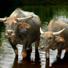 Buffaloes by Tido Petang - Animals Other Mammals