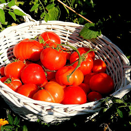 Even more tomatoes for tomato sauce! by Liz Hahn - Nature Up Close Gardens & Produce