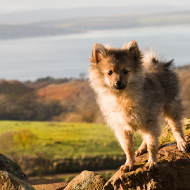 hugo in western scotland  by Michael Sweeney - Animals - Dogs Portraits ( natural light, scotland, d800, nikond800 dog, michael m sweeney, dog, nikon, hugo pomerainam )