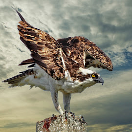 Landing osprey by Sandy Scott - Digital Art Animals ( birds of prey, landing osprey, raptors, osprey,  )