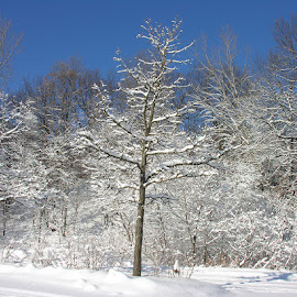 Snow Covered Trees by Luanne Bullard Everden - Landscapes Weather ( winter, snow, white, trees, weather, landscapes )