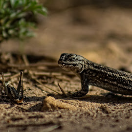 Dinner by Traci Smiley - Animals Reptiles ( lizard, arizona, reptile, grasshopper )