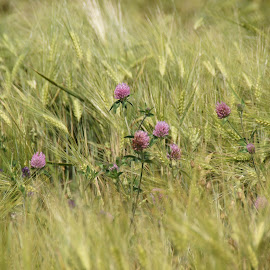 In the Farmers Field by Tammy Drombolis - Landscapes Prairies, Meadows & Fields (  )