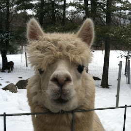 Perplexed 'paca by Faith Mayer - Instagram & Mobile iPhone