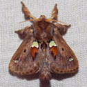 Spiny Oak-slug Moth