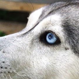 Dog with blue eyes by Jozef Šolc - Animals - Dogs Portraits ( blue eyes, dog, dog with blue eyes )