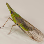 Long-nosed Planthopper