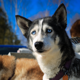 Because you are my LADY... by Roberta Janik - Animals - Dogs Portraits ( sled dog, blue eyes, husky, dog sledding, dog )