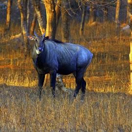 animals by Navin Paul - Animals Other ( animals, india, neel ghai, deer,  )