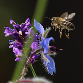 Bee & Flowers by Trace Clifford - Animals Insects & Spiders ( macro, borage, pollen, nature, bee, summer, wildlife, lavender, flowers, insects, garden )