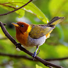 Saira-ferrugem (Rufous-headed Tanager)