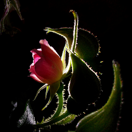 Dance by Jurijs Ratanins - Instagram & Mobile Android ( rose, mobilography, nature, buds, flower )