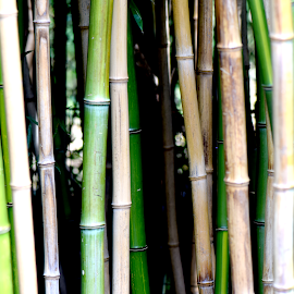 Bamboo  by Lin Fauke - Abstract Patterns ( abstract, plant, bamboo, pattern, green, texture,  )