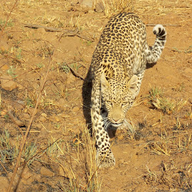 Leopard by James Moffat - Novices Only Wildlife ( big cats, pilanesberg, south africa, wildlife, leopard )