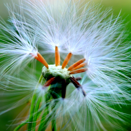 Emilia sonchifolia by Yusop Sulaiman - Nature Up Close Other plants