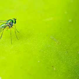 Mosquito! by (GG) Girinath G - Animals Other ( macro, nature, mosquito, plants, wildlife, trees, leaf, nikon, leaves, insect, lens, photography )